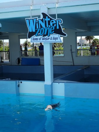 Clearwater Marine Aquarium : Winter the dolphin in her area.