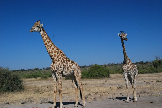 Ngoma Safari Lodge: Giraffes