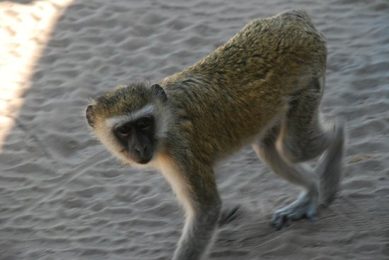 Ngoma Safari Lodge: Watch out for monkeys who know how good the lunch is that is served on the game drive!