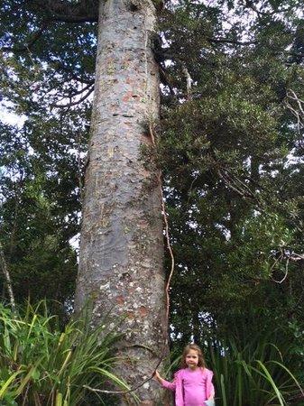 Waitakere Ranges : Kauri