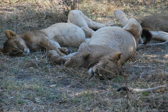 Ngoma Safari Lodge: Lions after a big meal (15 feet from our vehicle)