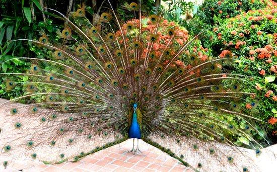 Velas Vallarta : Lots of pretty peacocks