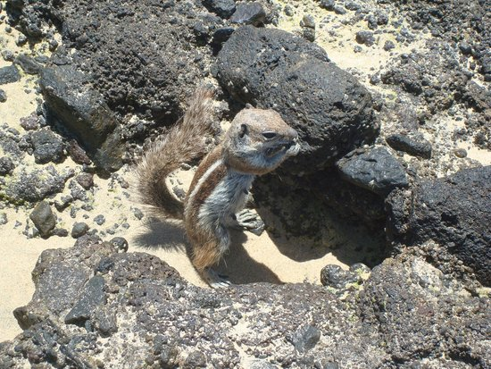 Iberostar Fuerteventura Palace : Ardilla en la playa