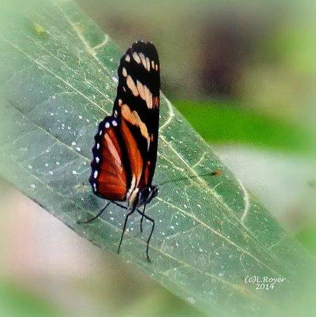 Arenal Lodge: Butterflies