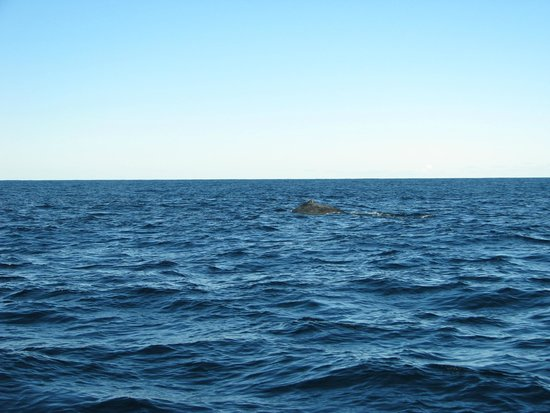 Manly Ocean Adventures: a sole hump back - in the morning their were pods of 2 or 3