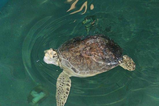 Clearwater Marine Aquarium : Sea Turtle at Aquarium