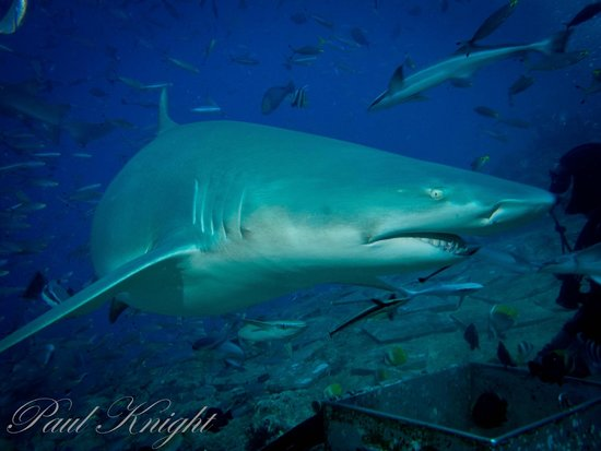 Waidroka Bay Resort: Shark dive