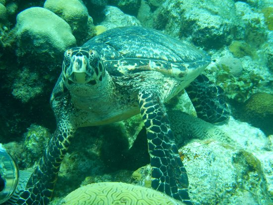 Splash Inn Dive Resort: Turtle