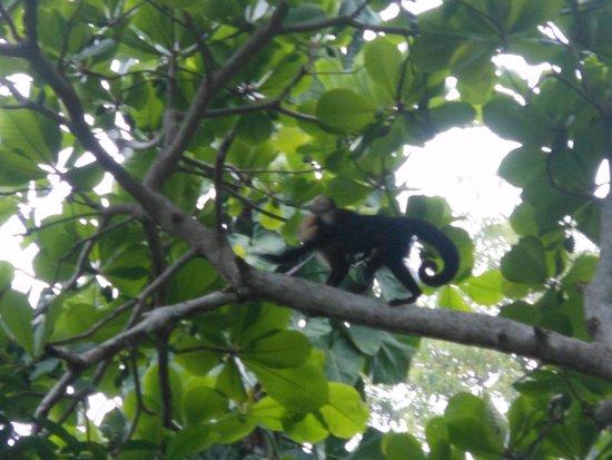 Arenas del Mar Beachfront & Rainforest Resort: monkey on the beach