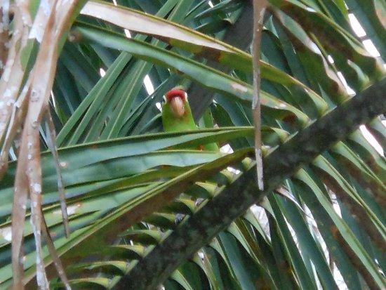 Arenas del Mar Beachfront & Rainforest Resort : parrot outside my room