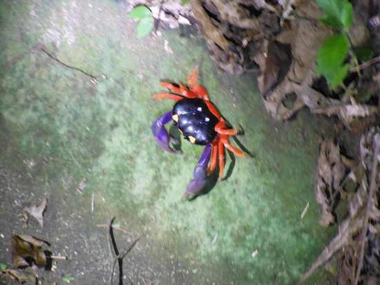 Arenas del Mar Beachfront & Rainforest Resort : halloween crabs all over place on grounds