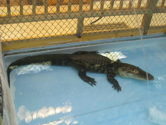The Alligator Attraction : Large Alligator.