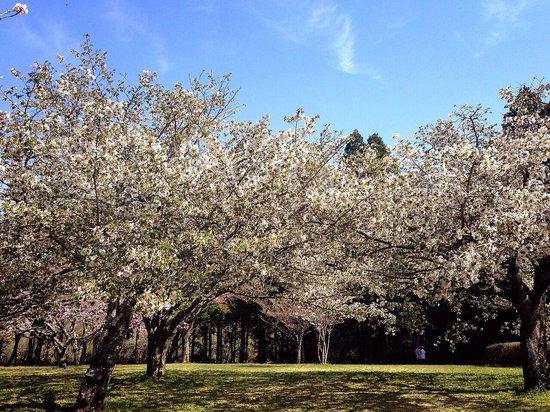 Showa no Mori Park: 桜の終わりの頃