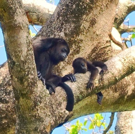 Hotel Playa Negra: Howler monkeys in our backyard!