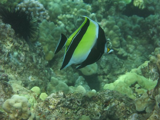Maui Magic: Moorish Idol