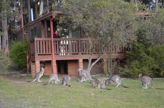 Jenolan Caves House: kangaroos waiting ......
