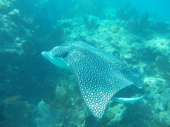 spotted eagle ray sorry not color corrected picture of spirit