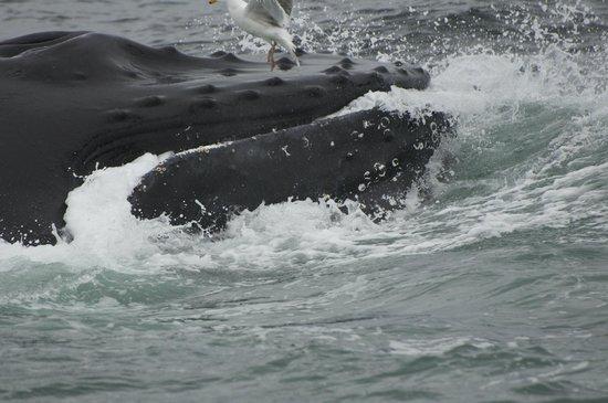 Dolphin Fleet Whale Watch: A whale bubble net feeding.