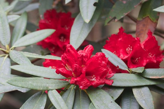 National Botanical Gardens: Rhododendron flowers in March