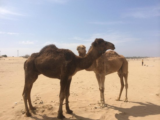 Sahara Tours 4x4 : Camels by the beach