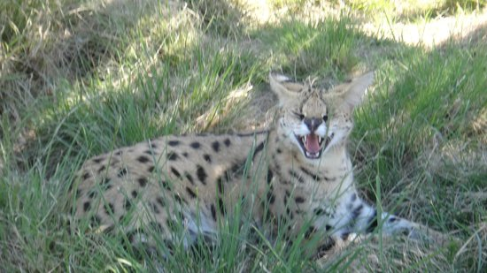Tenikwa Wildlife Awareness Centre: serval