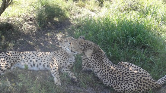 Tenikwa Wildlife Awareness Centre: cheetas