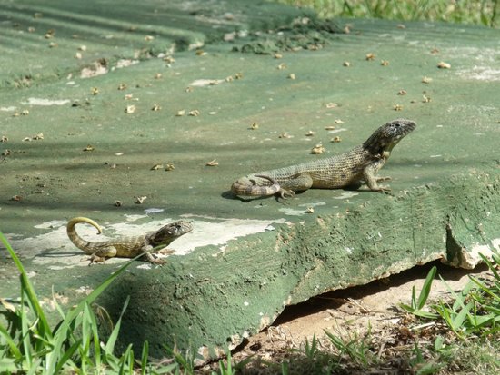 Club Tropical: Lizards! SO CUTE!