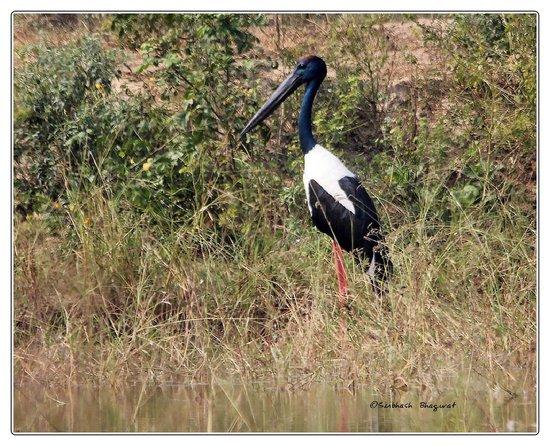 Keoladeo National Park: Black Necked Stork