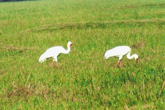 Keoladeo National Park: The last pair of Siberian Cranes spotted in India.. circa 2006