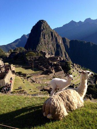 Santuario Histórico de Machu Picchu: Llamas