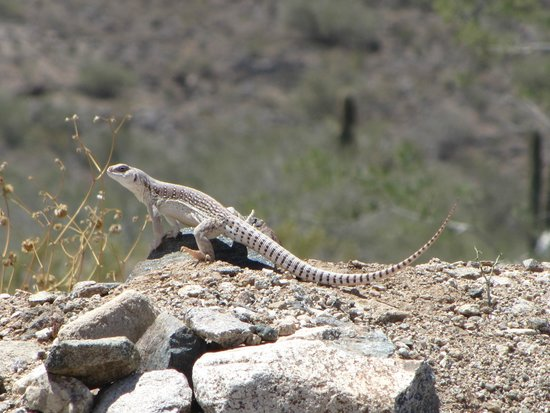 White Tank Mountain Regional Park: One of the local inhabitants