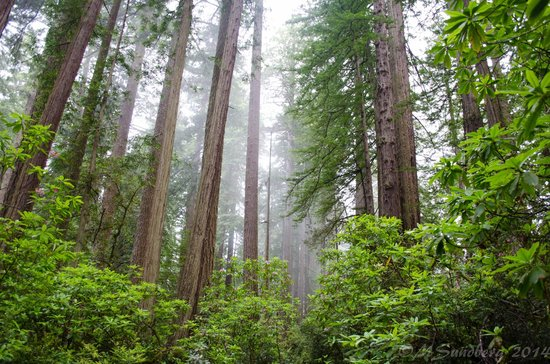 Redwood National Park: The mist hangs in the trees