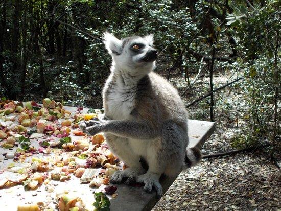 Monkeyland Primate Sanctuary : Busy enjoying his food