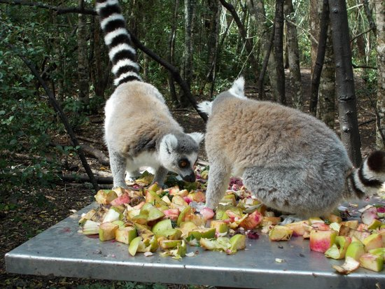 Monkeyland Primate Sanctuary: Another nice close up of them eating