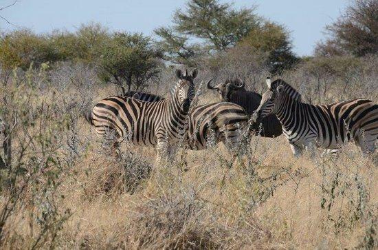 Haina Kalahari Lodge : zebra