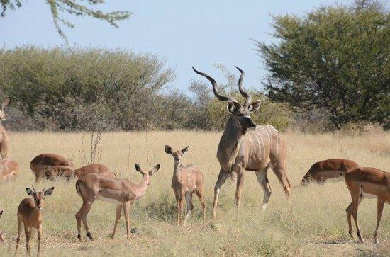 Haina Kalahari Lodge : kudu at water hole just next to lodge