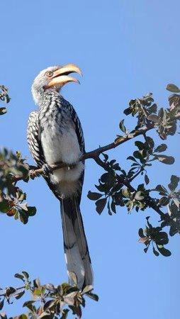 Haina Kalahari Lodge : a hornbill