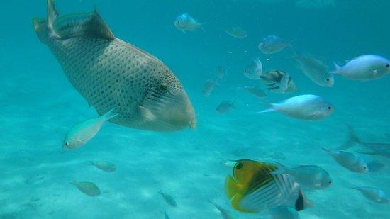 Sun Island Resort: Спинорог желтокаёмчатый