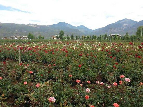 Lashi Lake: China Rose Field