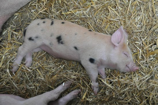 Rare Breeds Centre: Sleeping piggy