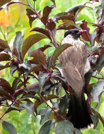 The Bruce Chalet: Sooty-headed Bulbul - eating plums in the garden