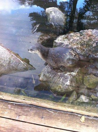 WWT Slimbridge Wetland Centre: Otters