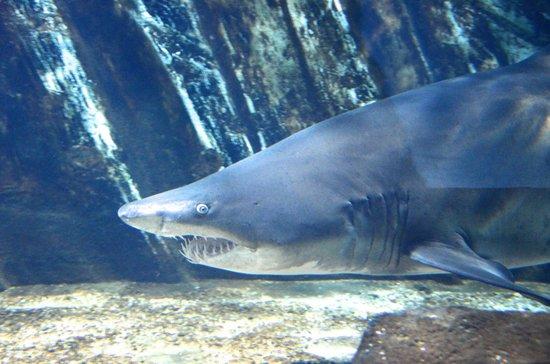 Lido di Jesolo Sea Life Aquarium: Becken der Sandtiger Haie