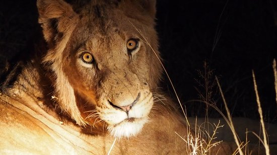 Lion Sands - Tinga Lodge: A pride in wait