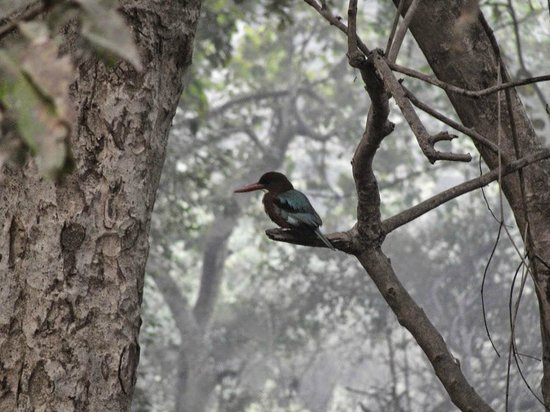 Keoladeo National Park: Kingfisher looking for the catch