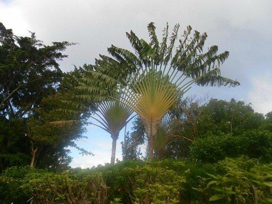 Jardin Botanique de Deshaies : Traveler palms