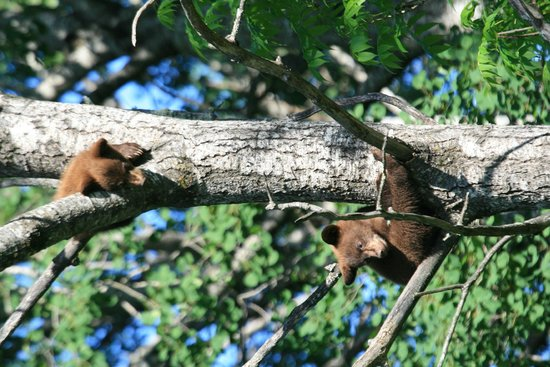 Vince Shute Wildlife Sanctuary: Cubs in Tree