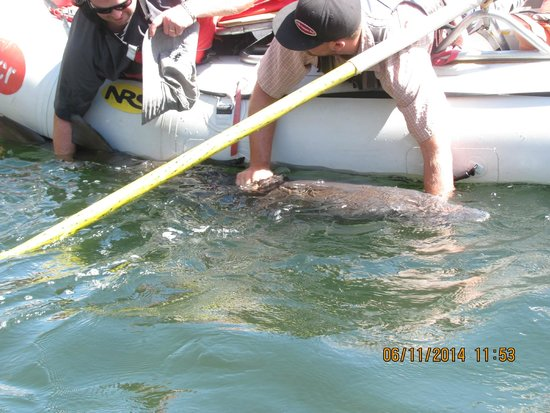 Hells Canyon Raft : Catch and release sturgeon