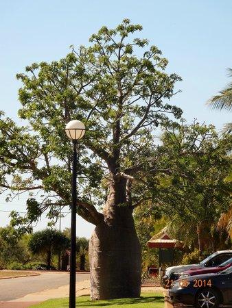 Oaks Cable Beach Sanctuary Resort: Boab Tree near the resort