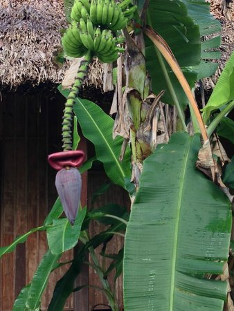 La Milpa Field Station : banana tree on the grounds